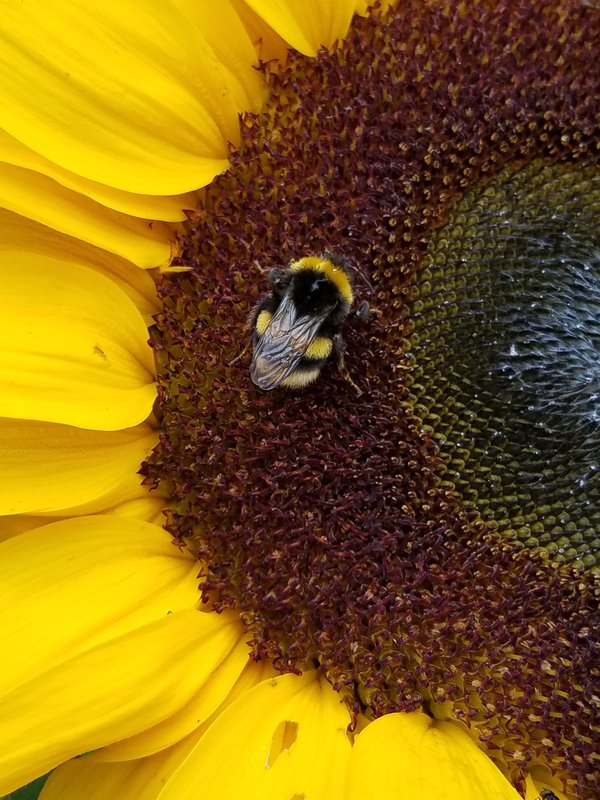 Bee on Sunflower in Iceland thumbnail