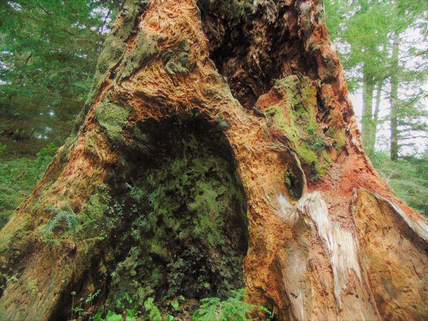 Old Growth Oregon Rainforest thumbnail