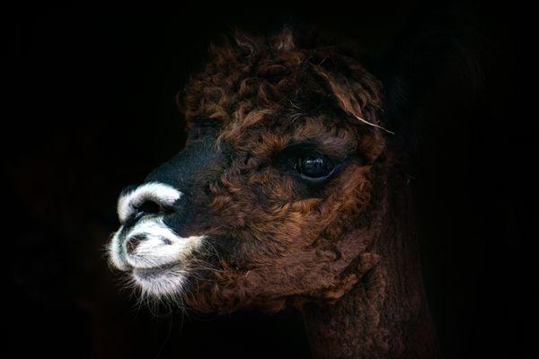 An alpaca after winter haircut thumbnail