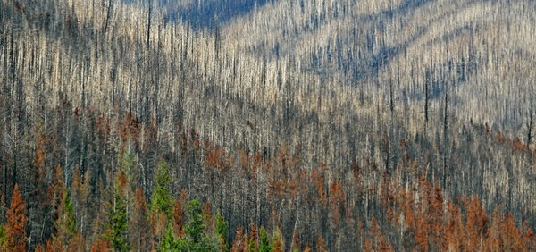 Fire's Aftermath - Kootenay National Park, British Columbia, Canada thumbnail