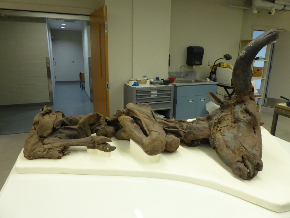 This mummified steppe bison was donated to the Smithsonian's National Museum of Natural History in the 1970s. Right now, museum audiences can see it online during a virtual tour. (Michelle Pinsdorf, Smithsonian)