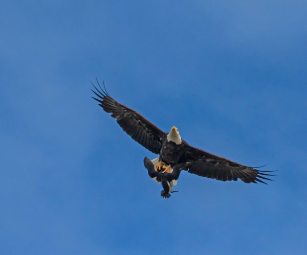 Bald Eagle With Common Mure 1 thumbnail