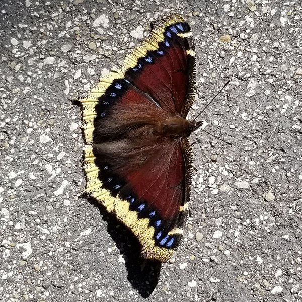 Mourning Cloak butterfly thumbnail