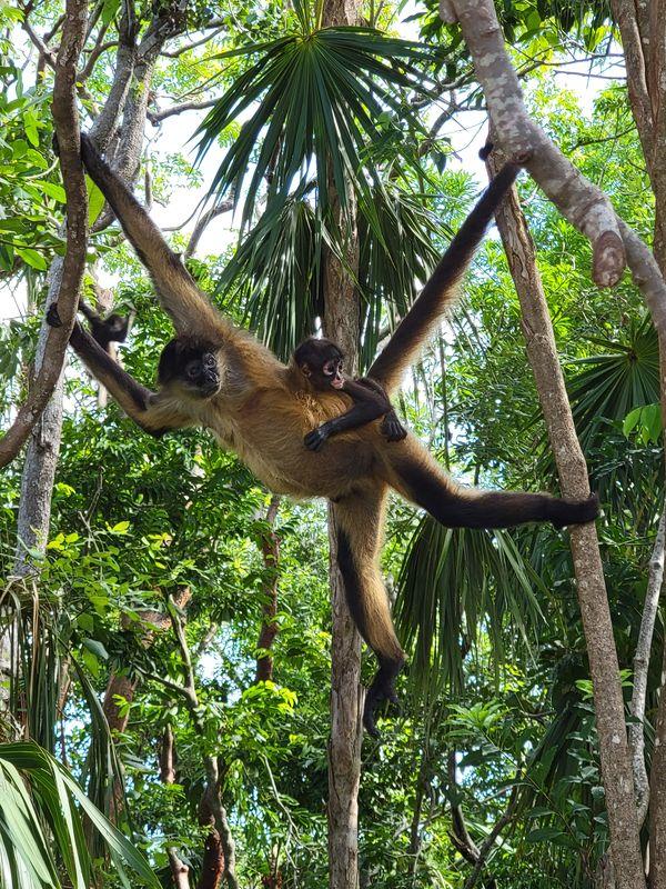 Spider Monkeys thumbnail