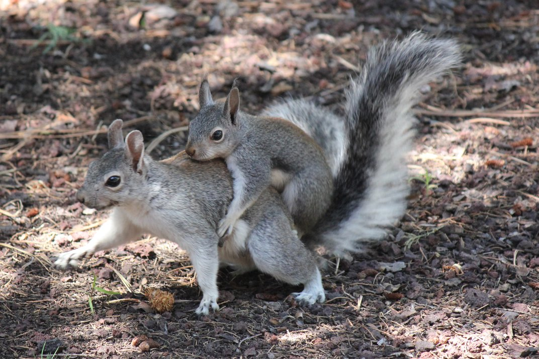 Baby squirrel riding on mother's back. | Smithsonian Photo Contest |  Smithsonian Magazine