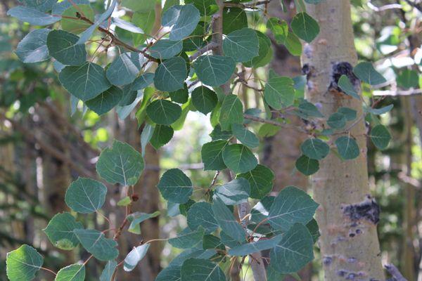 Summer Aspen Trees thumbnail