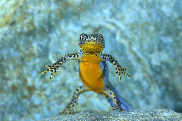 An underwater alpine newt  thumbnail