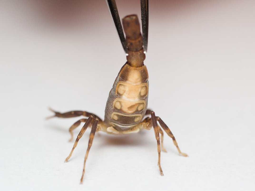 For Constipated Scorpions, Females Suffer Reproductively. Males, Not So Much.
