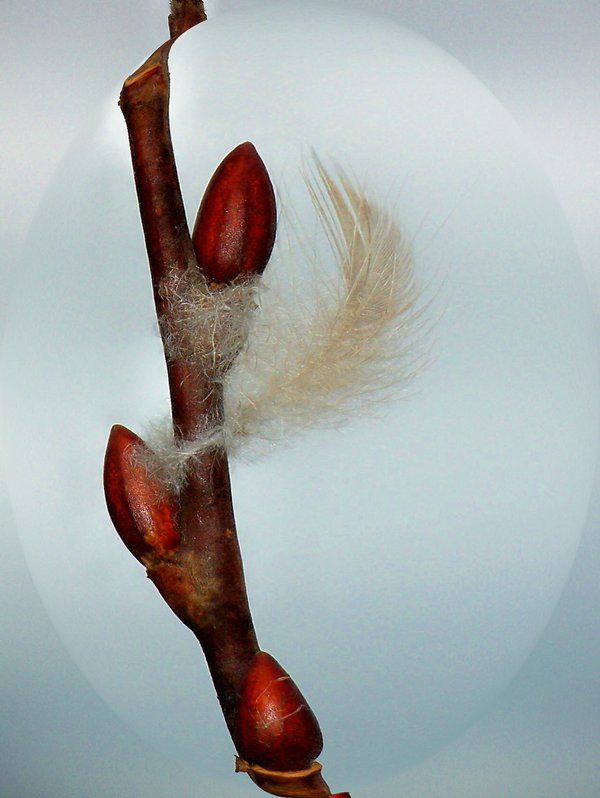 Feather caught on twig thumbnail