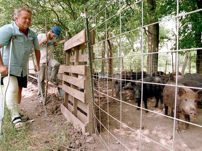 A rancher tends to several small feral hogs in a pen in Texas. But in the wild, these hogs are considered invasive—and they're headed north.