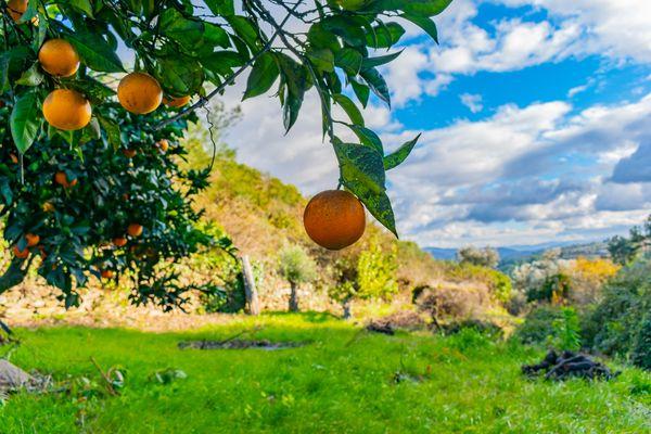 Orange in a tree thumbnail