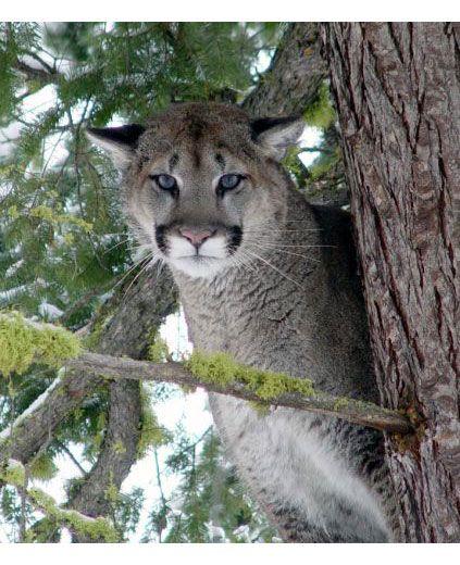 cougar_cougar.jpg