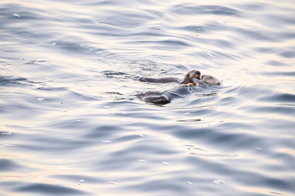 Mom and baby sea otters sharing a crab dinner.   Canon 6D, 100-400mm thumbnail