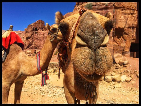 Camel at Petra thumbnail
