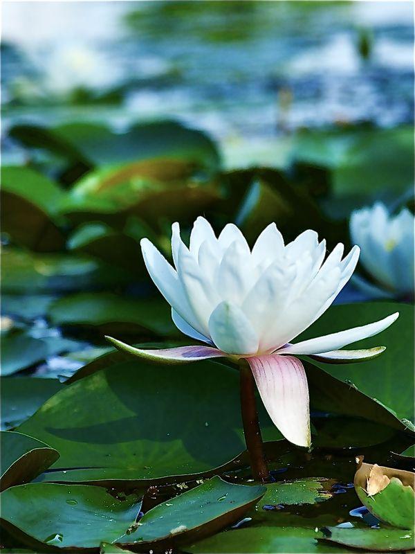 Water Lily thumbnail