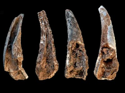 Cracked-open and burnt fragments of crab pincers, found in the cave of Figueira Brava.