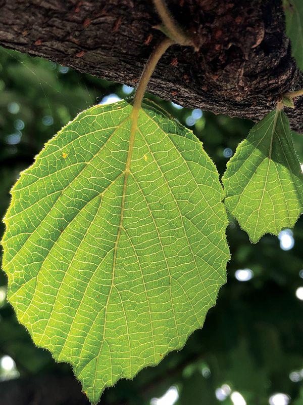 Green Leaf thumbnail