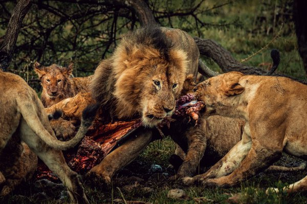 A pride of lions feed on a wildebeest thumbnail