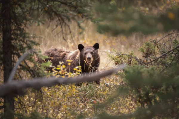 Black bear in the forest thumbnail