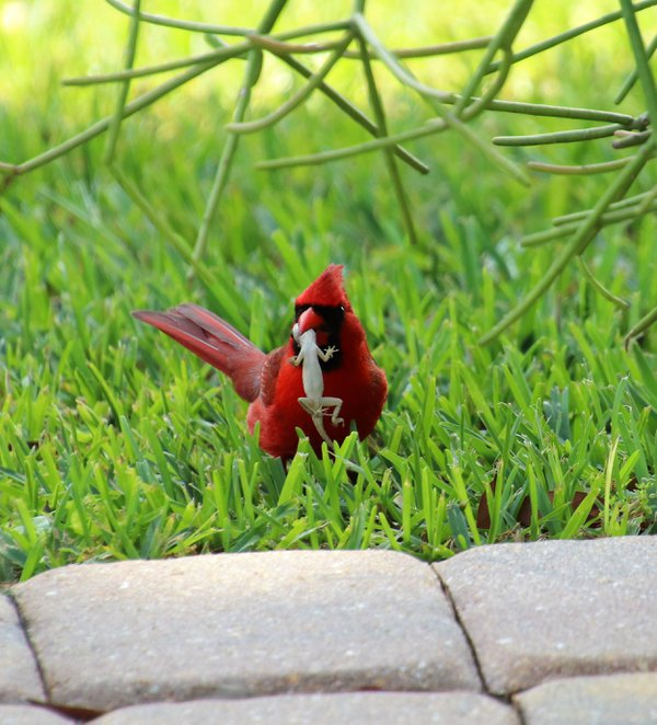 Male cardinal eating lizard thumbnail