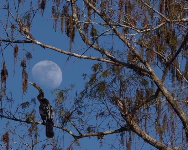 Anhinga Moon thumbnail