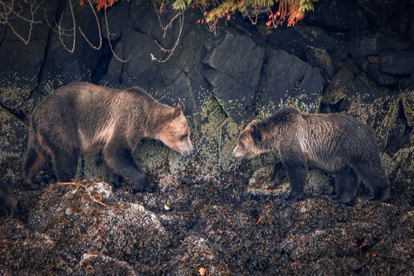 Two Bears Meet thumbnail