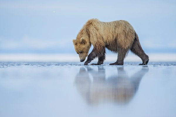 Brown Bear Reflection thumbnail