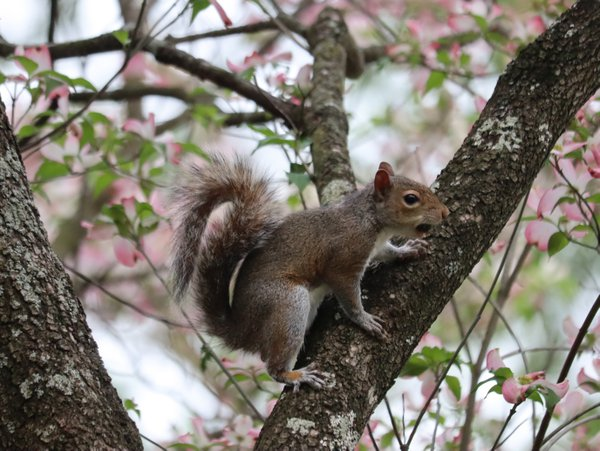 Squirrel in Pink Dogwood Tree in Raleigh, NC thumbnail