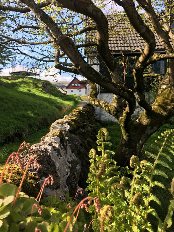 Fiddleheads in the Faroes thumbnail