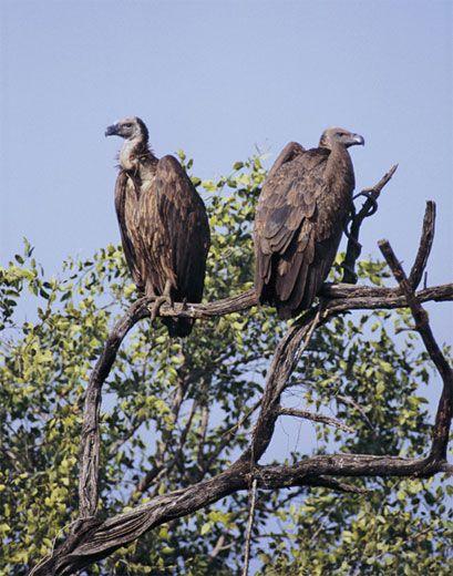 vulture2_tree.jpg
