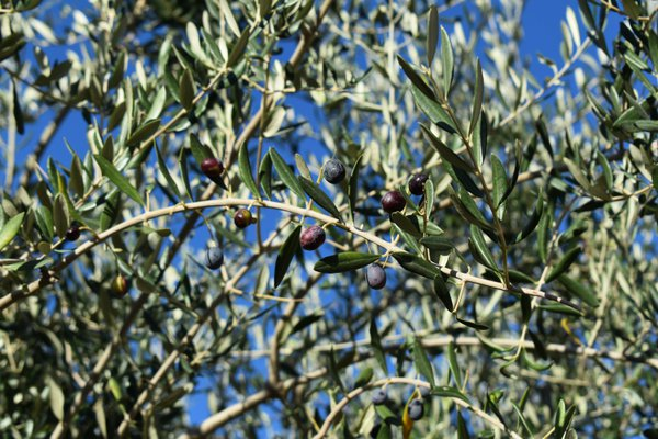 Blessed Olive Tree thumbnail