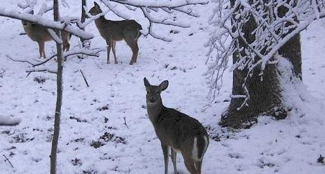 White-tailed deer making do in a harsh winter wonderland.