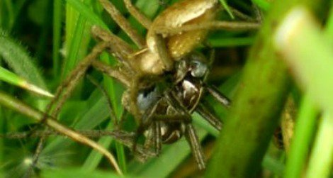 Nursery web spiders