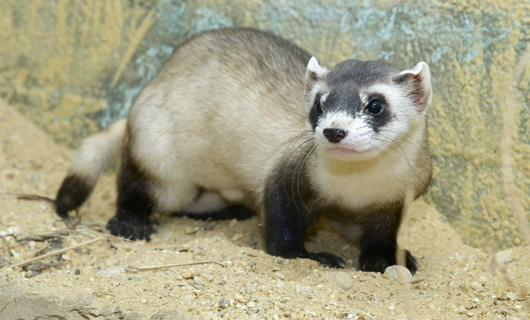 A black-footed ferret with a slender body, long tail and black and tan fur