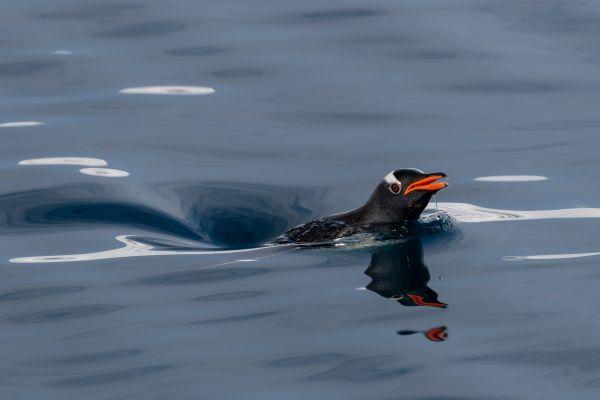 A Penguin Breaks the Surface thumbnail