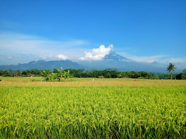 Paddy Field and Mountain thumbnail