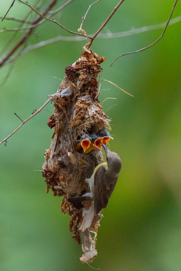 sunbird mother feeding her babies thumbnail