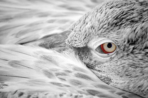 Meditation of Pelicans thumbnail