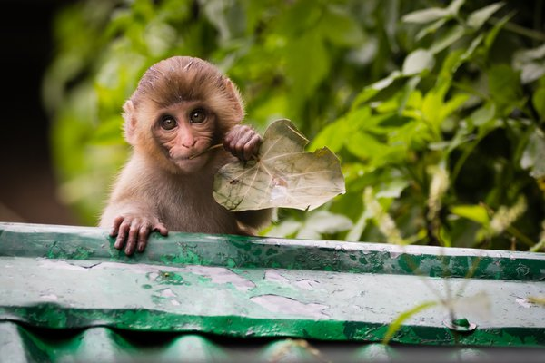 A baby Rhesus Macaque chews on a leaf thumbnail