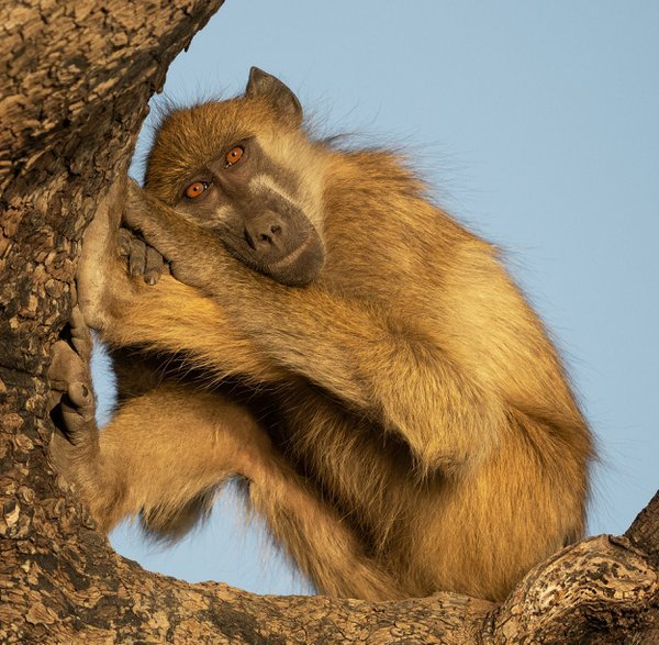 A Chacma Baboon relaxing in a tree thumbnail