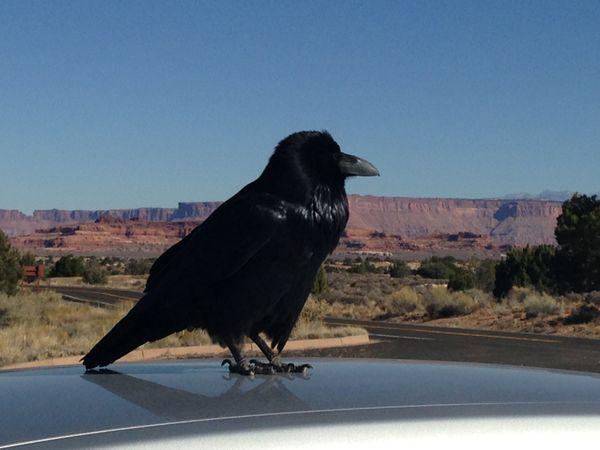 Canyonlands Raven Guide thumbnail