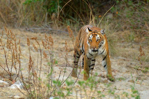 No messing around-Tigress thumbnail