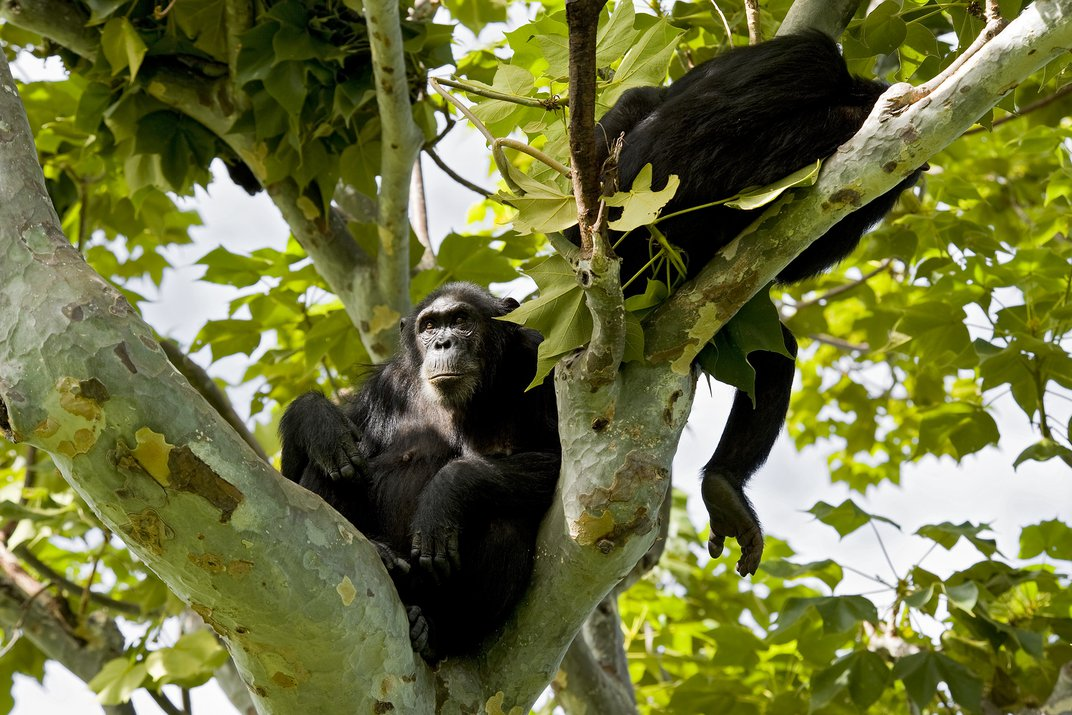 A pair of chimpanzees rests in a tree in Gombe National Park.