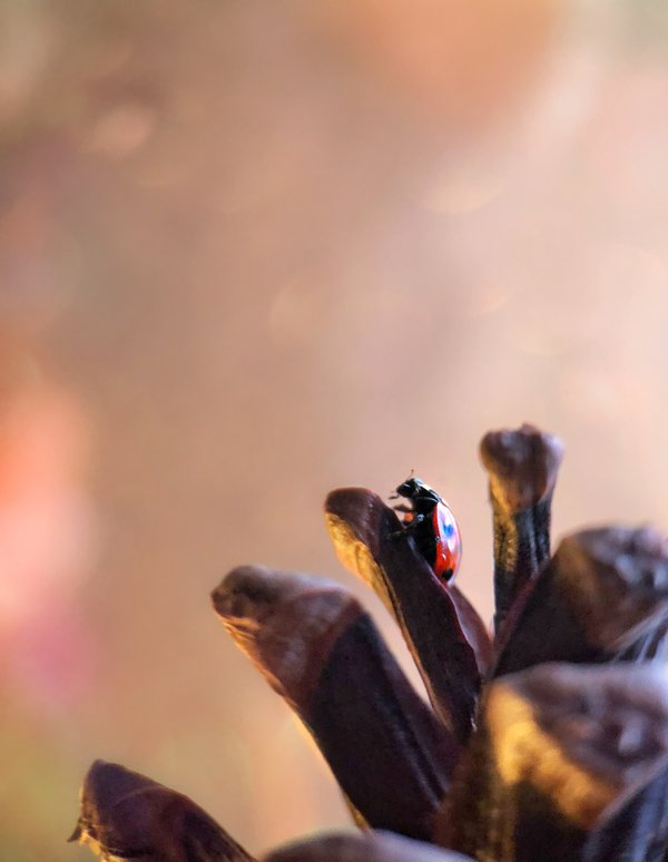 A ladybug ona pine cone thumbnail