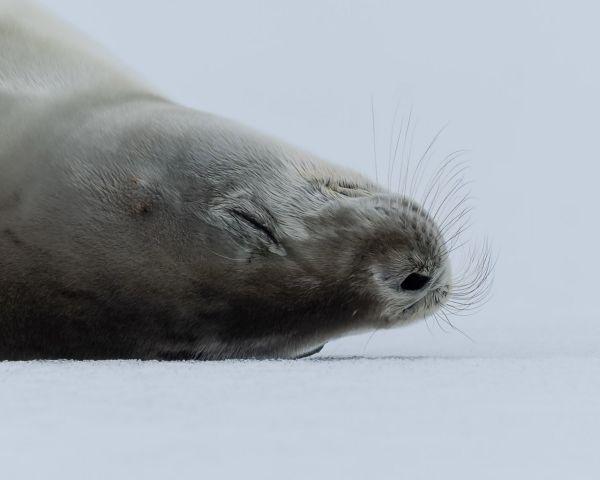 Snoozing Seal thumbnail