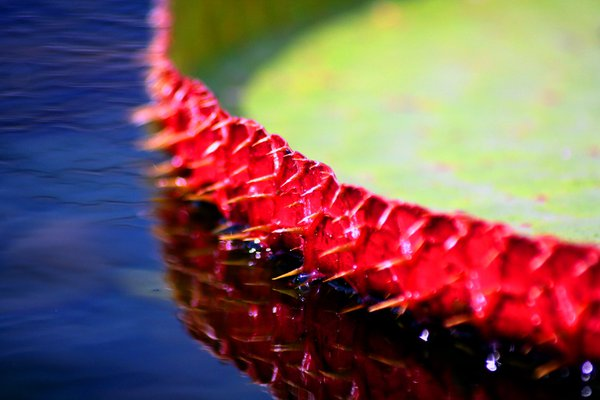 Spiked Lillypad thumbnail