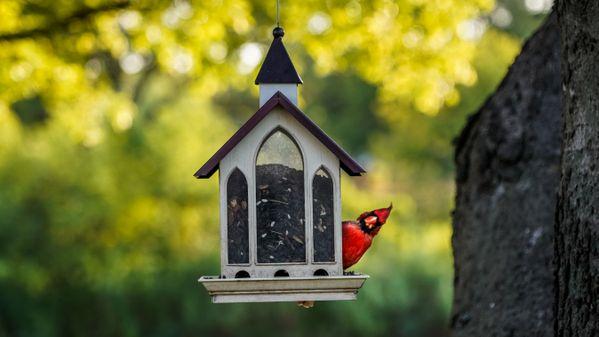 Quirky Cardinal thumbnail