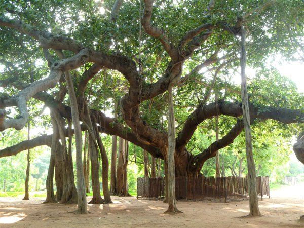 300-Year Old Banyan Tree. thumbnail