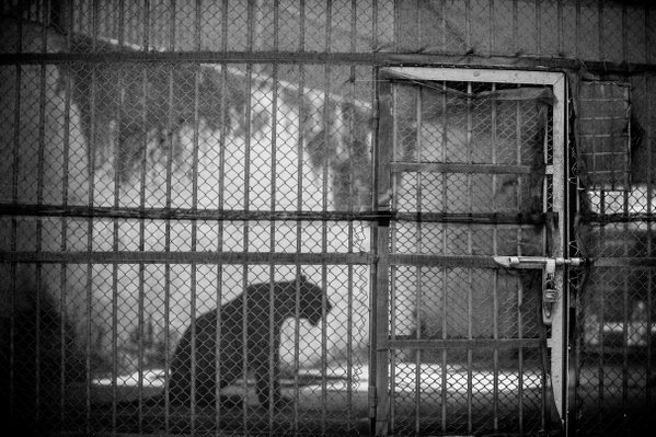 The caged. thumbnail