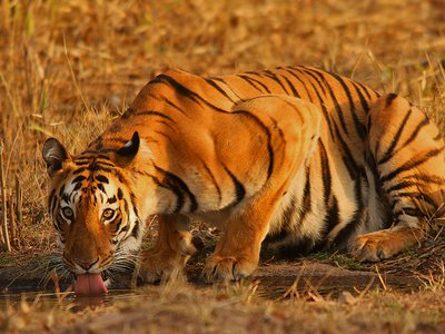 Expanding human populations in India have pushed tigers into small, isolated habitats—and resulted in some unusual behaviors.